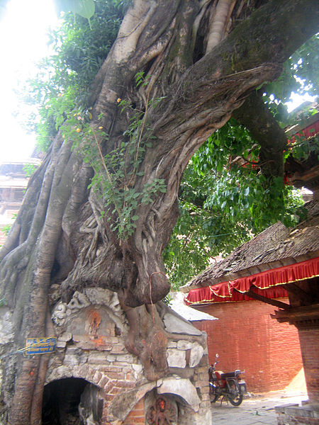 Peepal_tree_worshiped_as_god_in_hindu_culture_(peepal_tree_and_temple_on_tree)