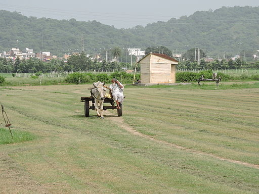 A_farmer_coming_to_field_with_bullock_cart,India